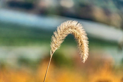 bent-over stalk of wheat