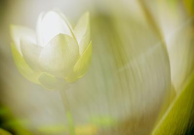 glowing lotus flower
